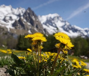 """Dandelions and mountains"" by Tiia Monto. Licensed under CC BY-SA 3.0 via Wikimedia Commons - https://commons.wikimedia.org/wiki/File:Dandelions_and_mountains.jpg#/media/File:Dandelions_and_mountains.jpg"