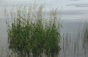 grass_in_water